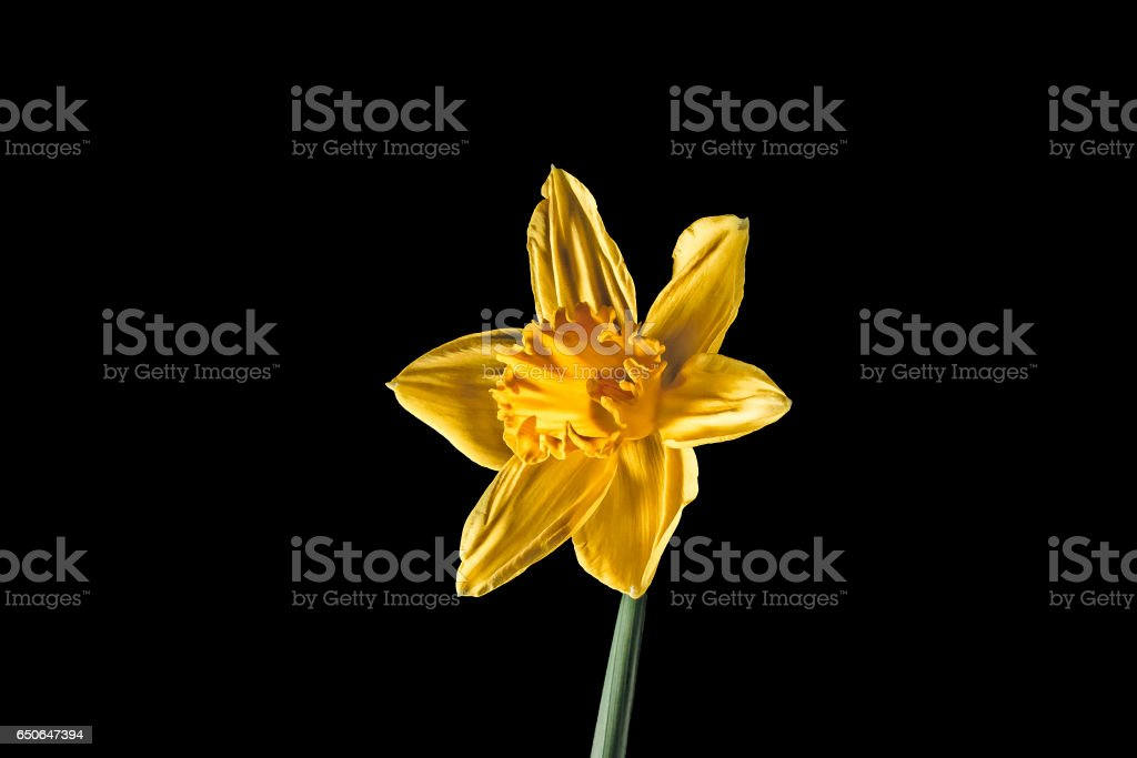 Daffodil (narcissus) stock photo