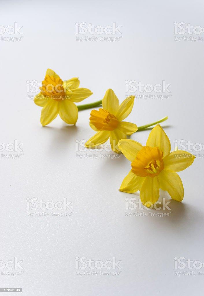 Daffodil (Narcis) royalty-free stock photo