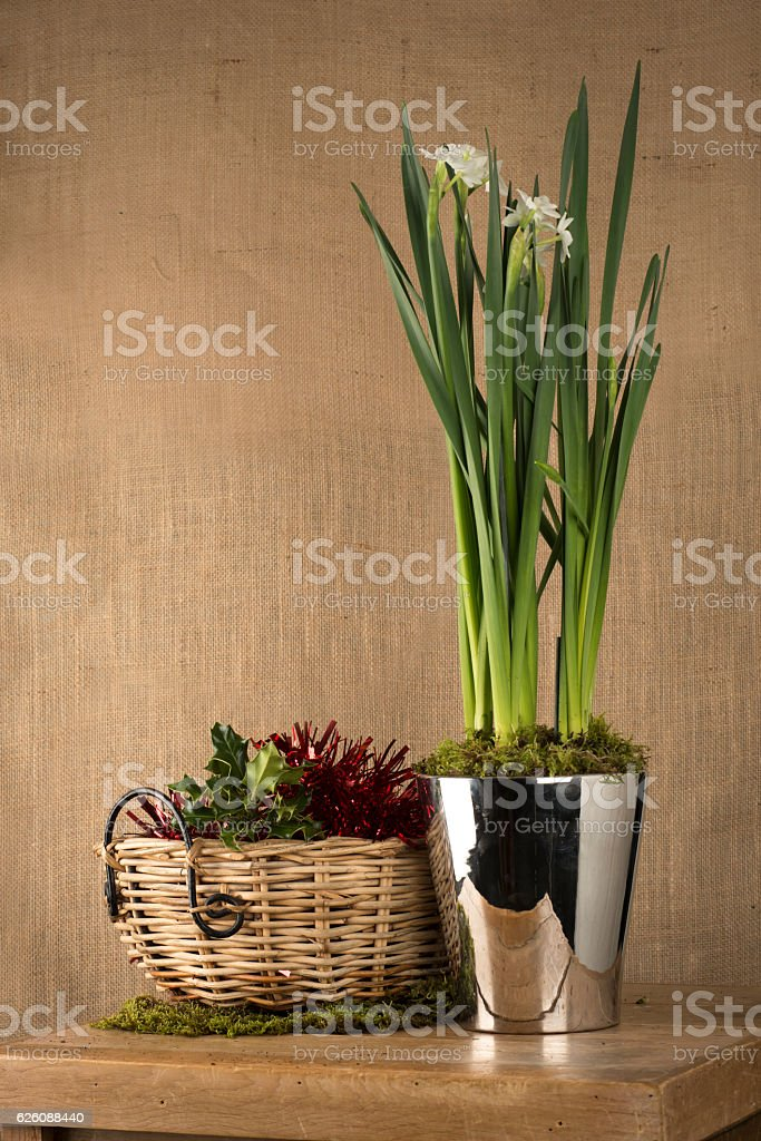 Daffodil Plant in Steel Pot on Black Background stock photo
