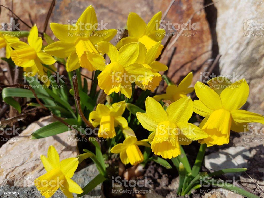 Daffodil; tete a tete; Narcissus stock photo