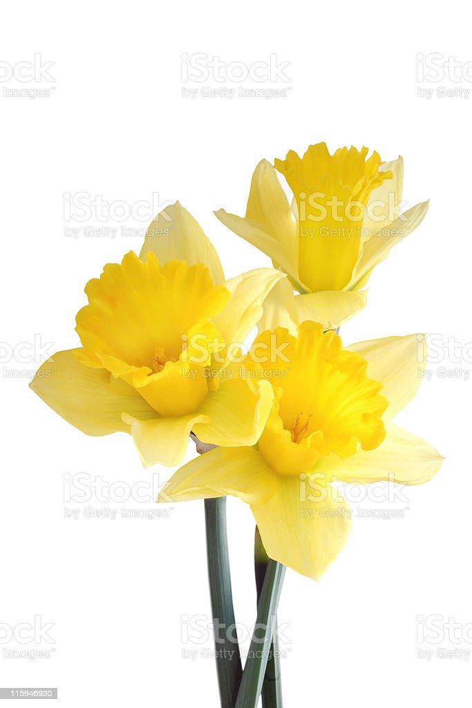 Daffodil Trio royalty-free stock photo