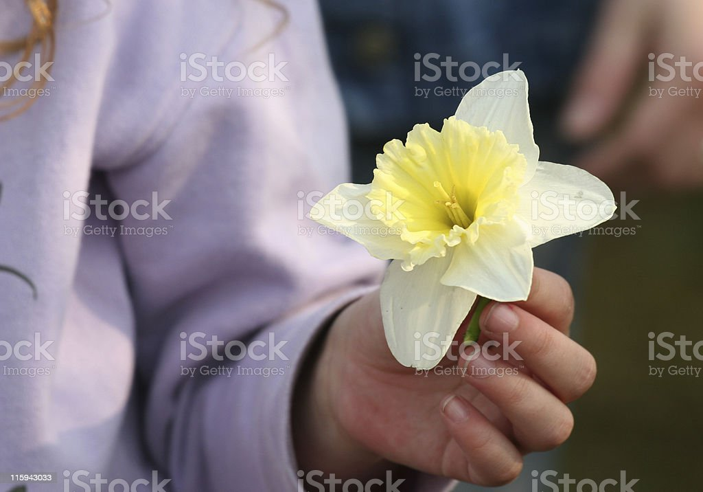 Daffodil with hand royalty-free stock photo