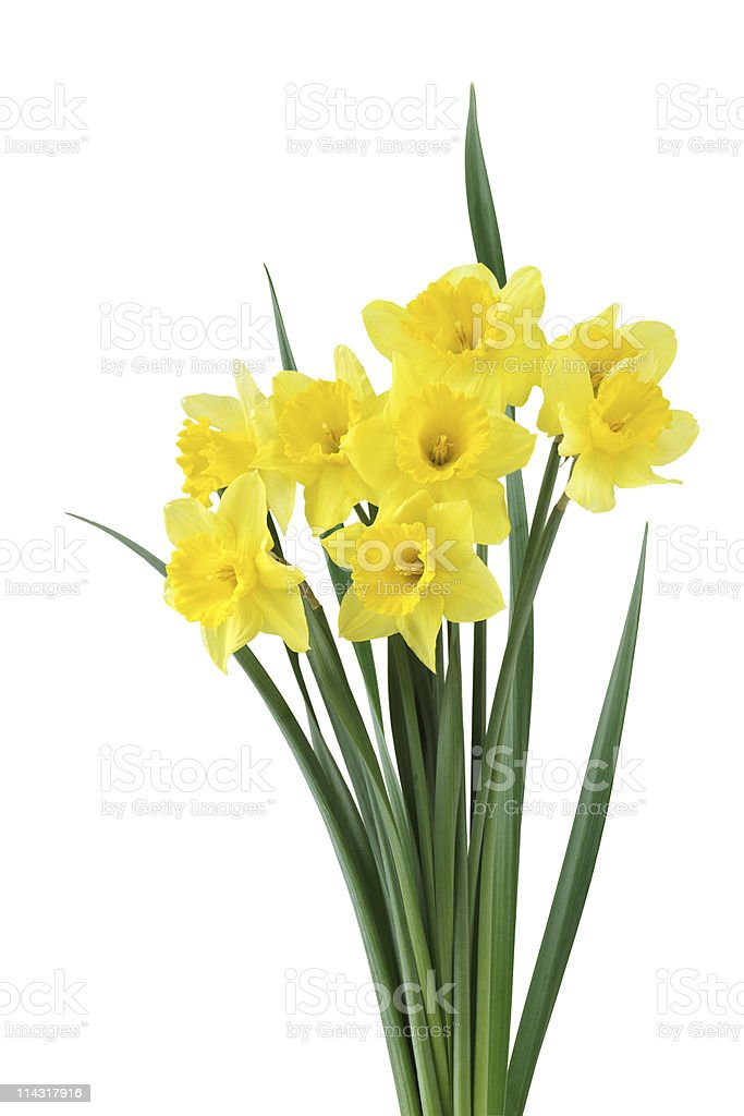 Daffodile Bundle stock photo