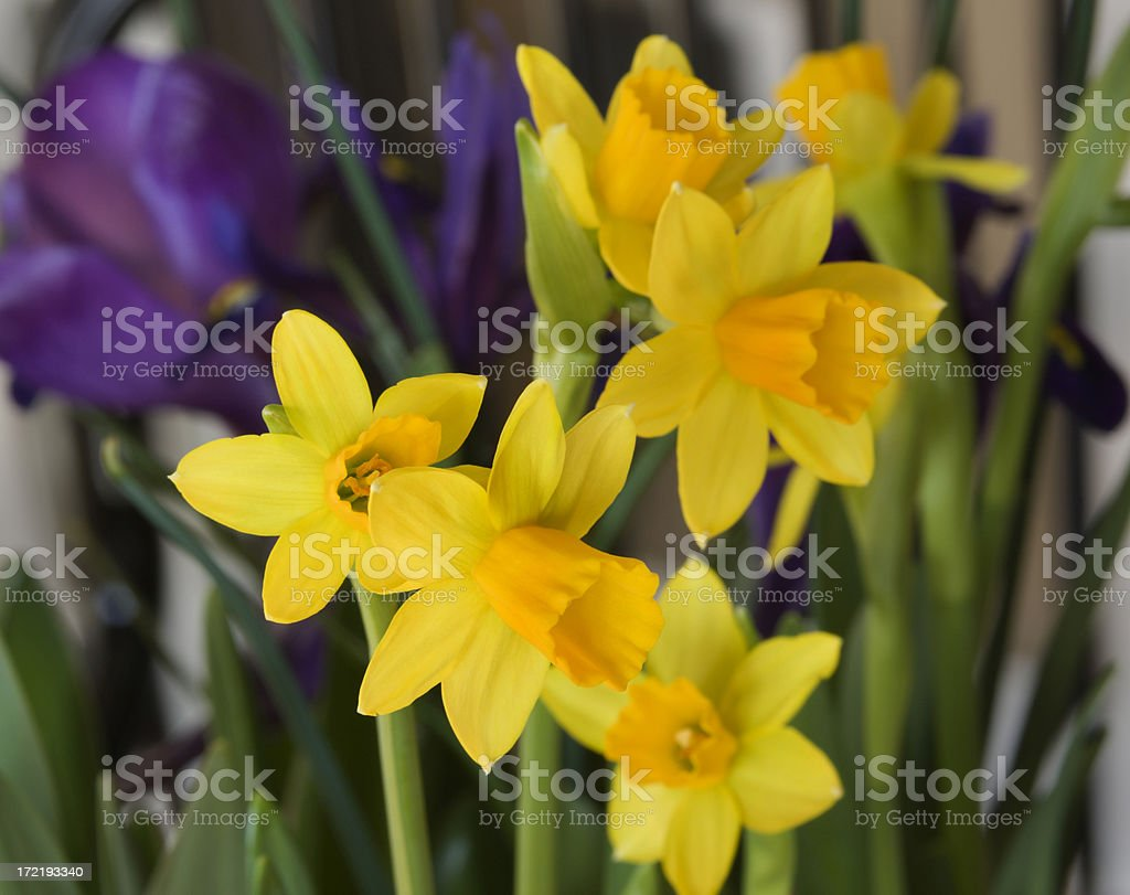 Daffodill Flowers, a Yellow Narcissus Blooming in Spring Flower Bed stock photo