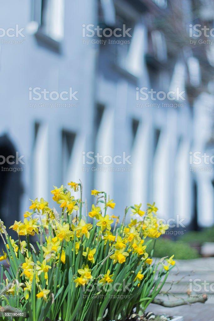 Daffodills in a medieval garden stock photo