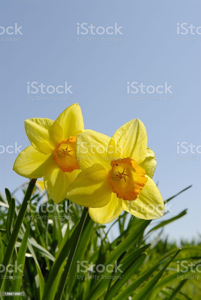 Daffodils 2 royalty-free stock photo