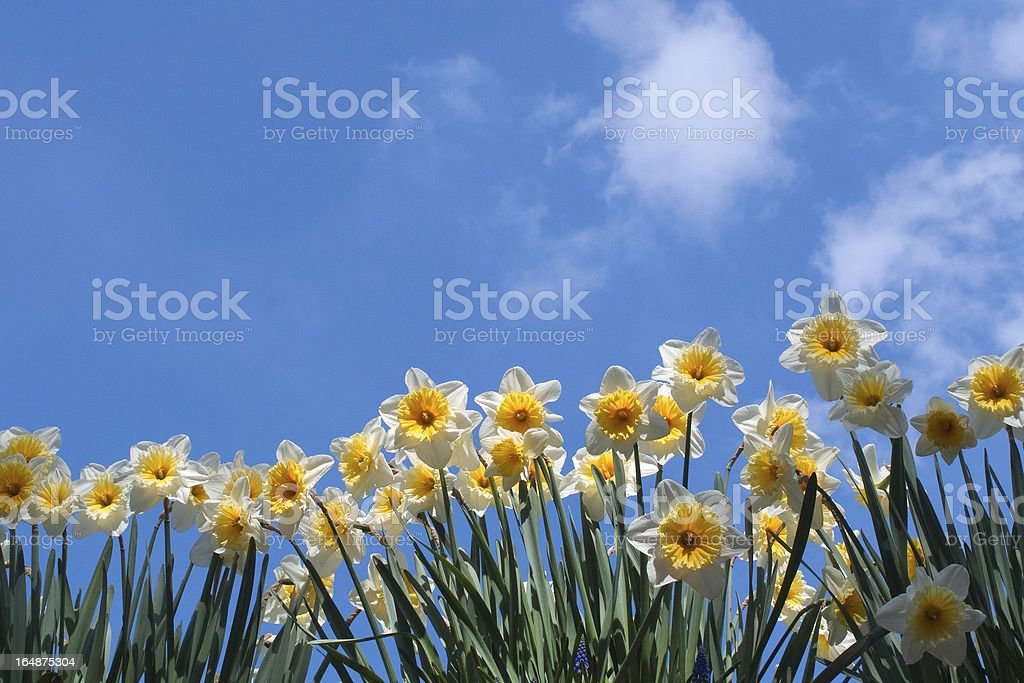 Daffodils against blue sky royalty-free stock photo