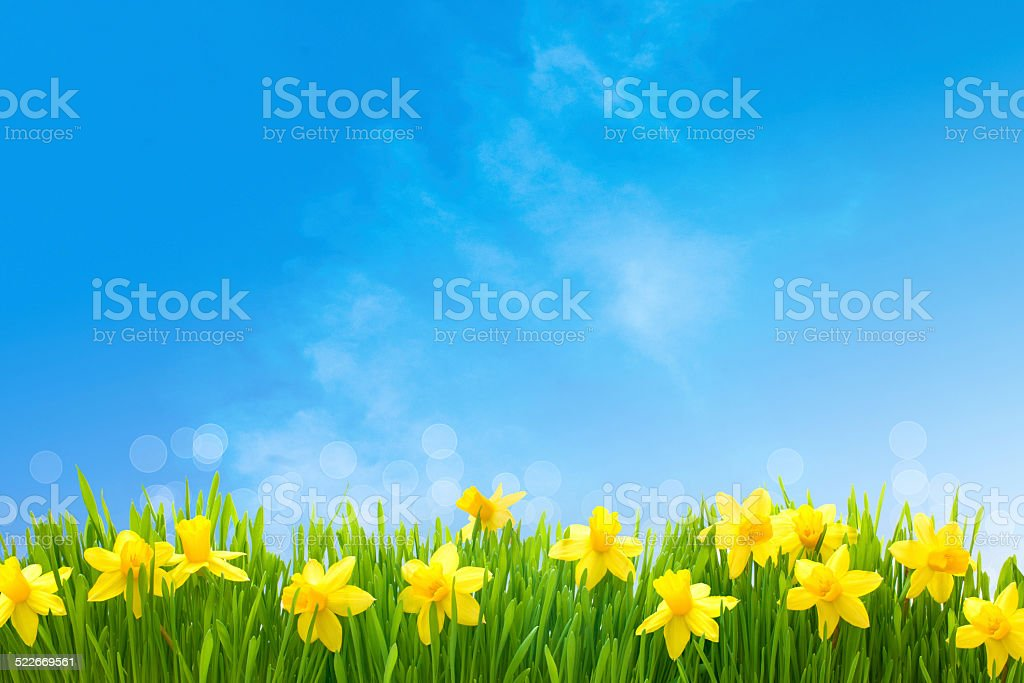 Daffodils against blue sky stock photo