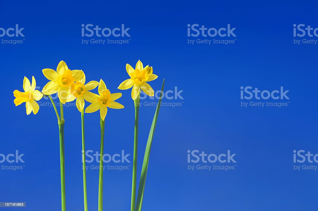 daffodils against the sky stock photo