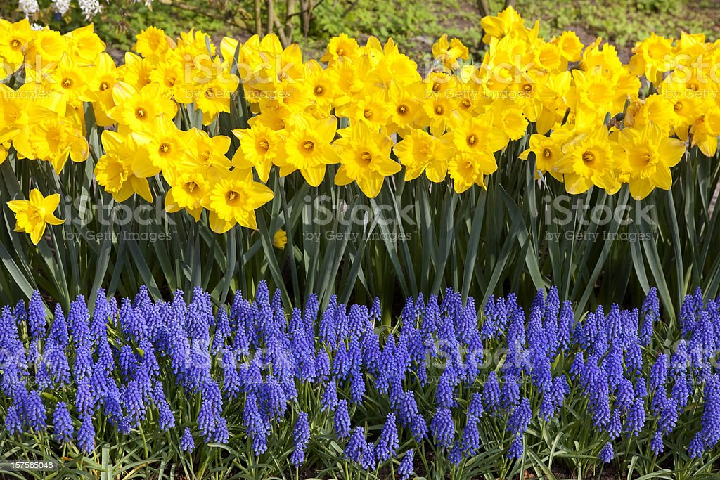 Daffodils and Grape Hyacinths in Garden stock photo
