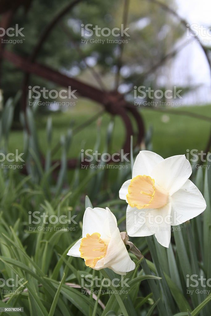 Daffodils and plow stock photo