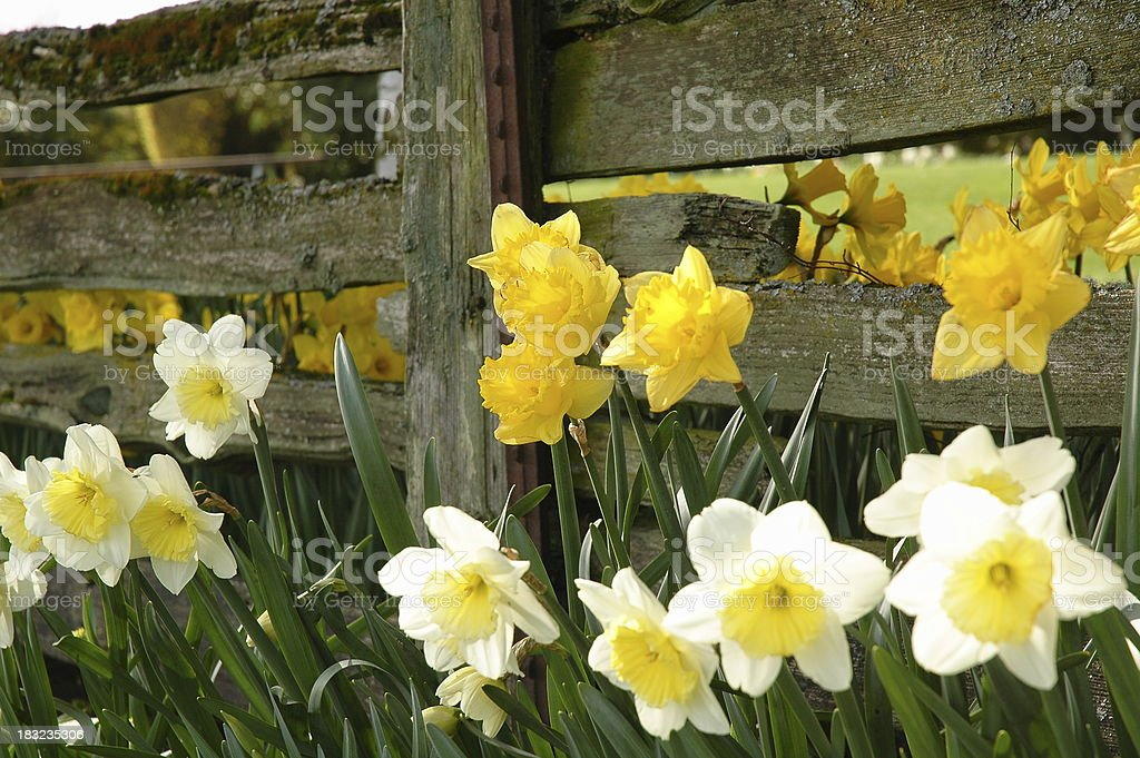 Daffodils and Rustic Fence stock photo