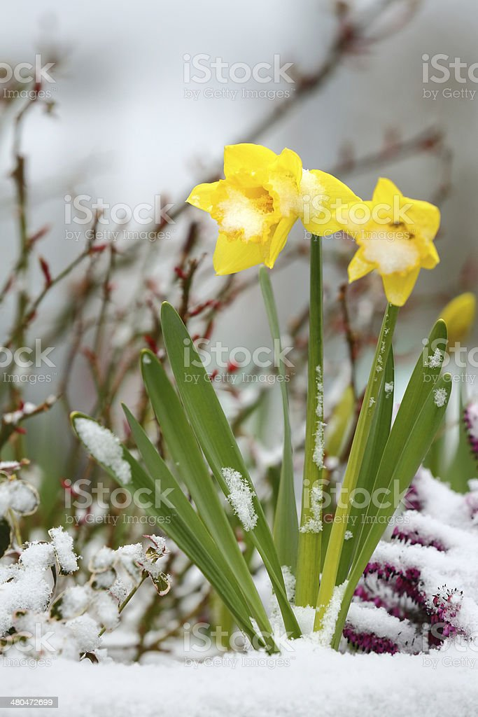 Daffodils and Snow, Spring Thaw royalty-free stock photo
