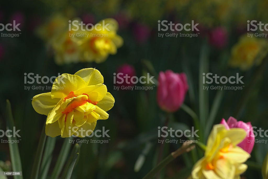 daffodils and tulips in garden royalty-free stock photo