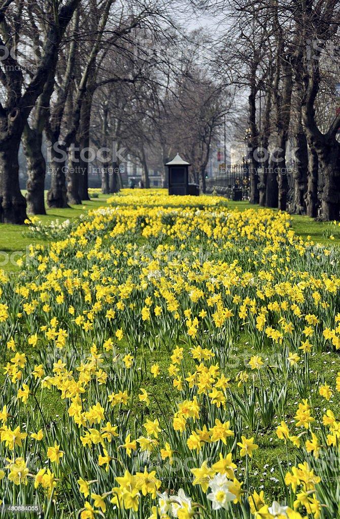 Daffodils at Greenwich stock photo