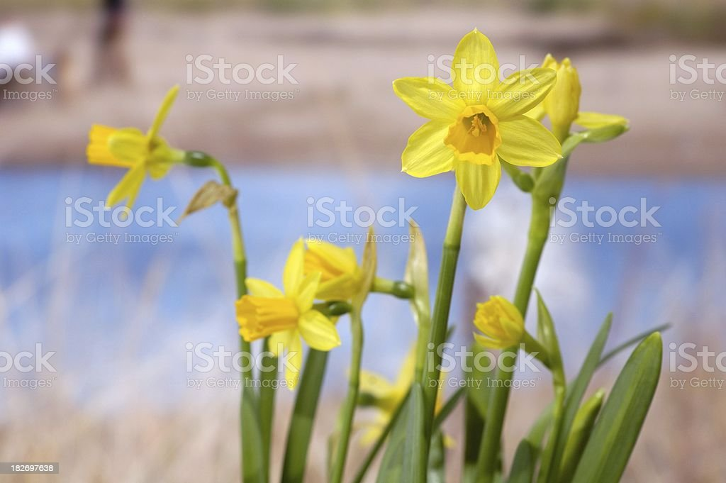 Daffodils at the beach royalty-free stock photo