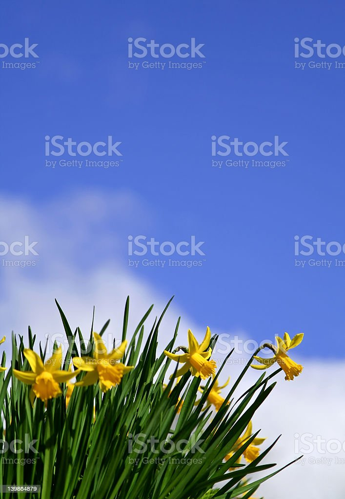 Daffodils blowing in the wind under a blue sky royalty-free stock photo