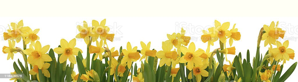 Daffodils border stock photo