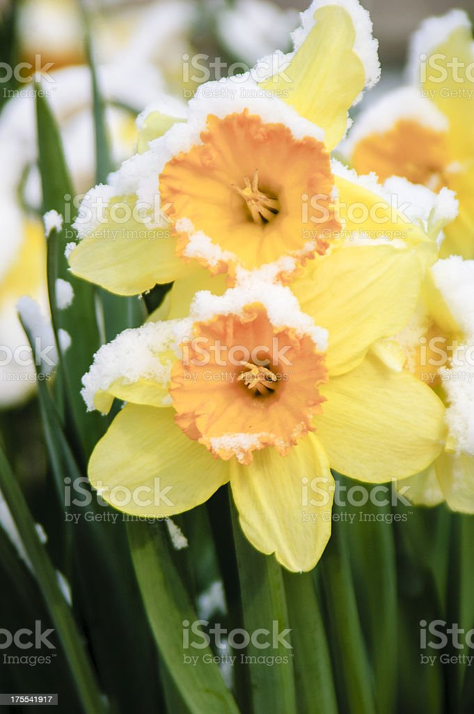 Daffodils covered in snow by an early spring snowfall stock photo