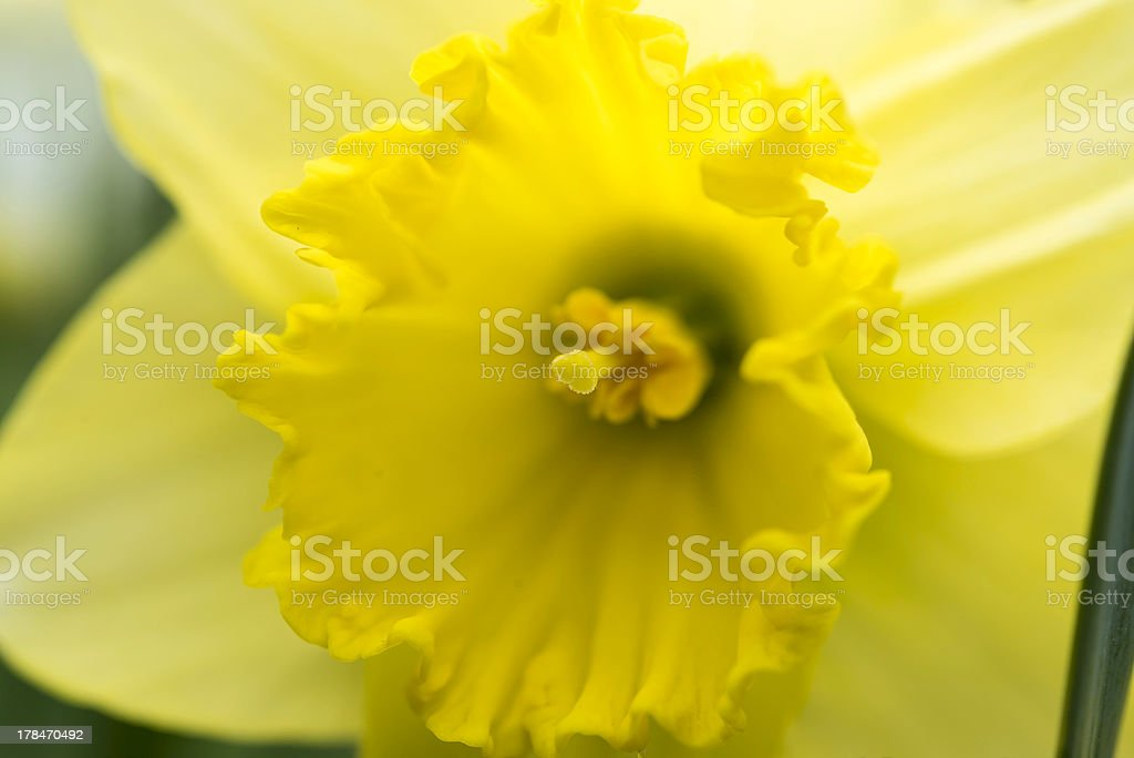 Daffodils flower royalty-free stock photo