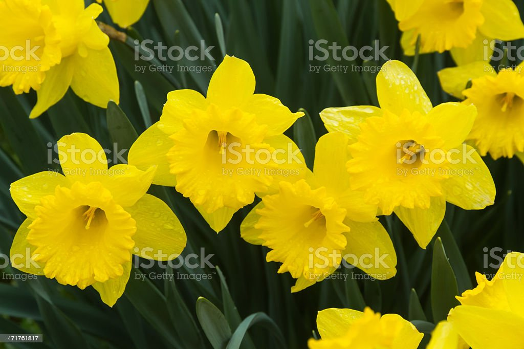Daffodils Flowers a Rain Day  - Flores de Narcisos stock photo