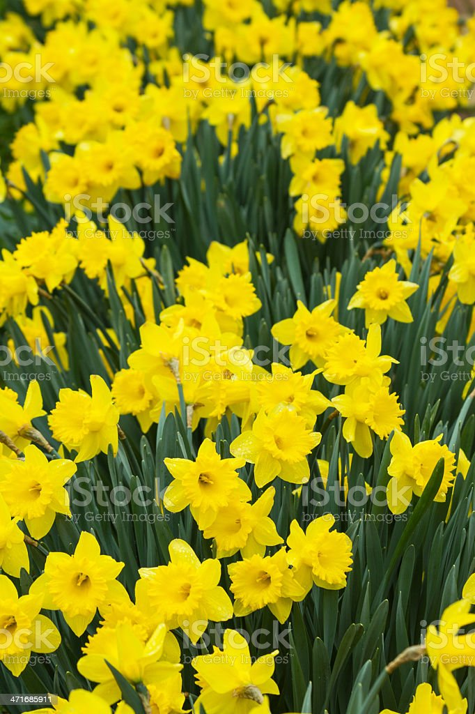 Daffodils Flowers - Flores de Narcisos stock photo