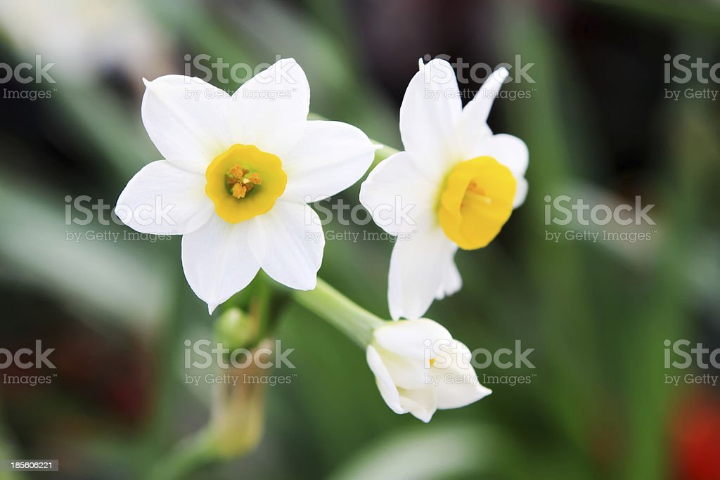 daffodils flowers stock photo