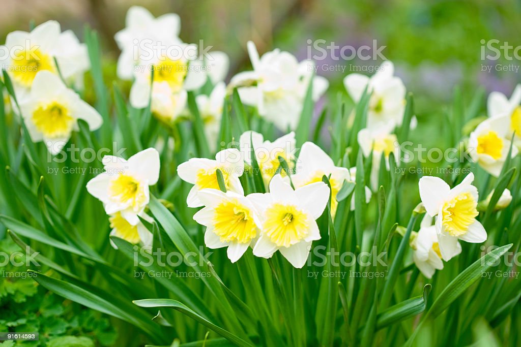 daffodils  garden royalty-free stock photo