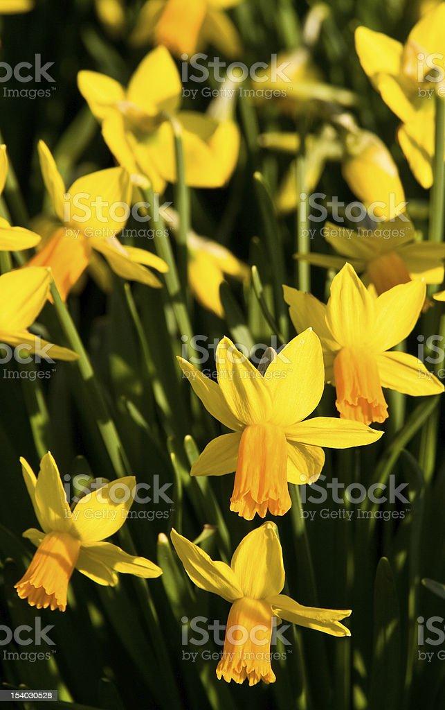 Daffodils Heads stock photo
