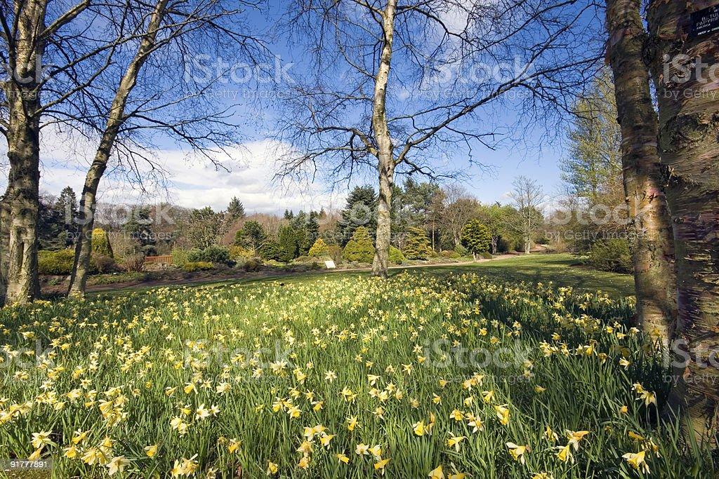 Daffodils in a botanic garden royalty-free stock photo