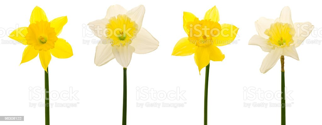 Daffodils in a row (XXL) royalty-free stock photo