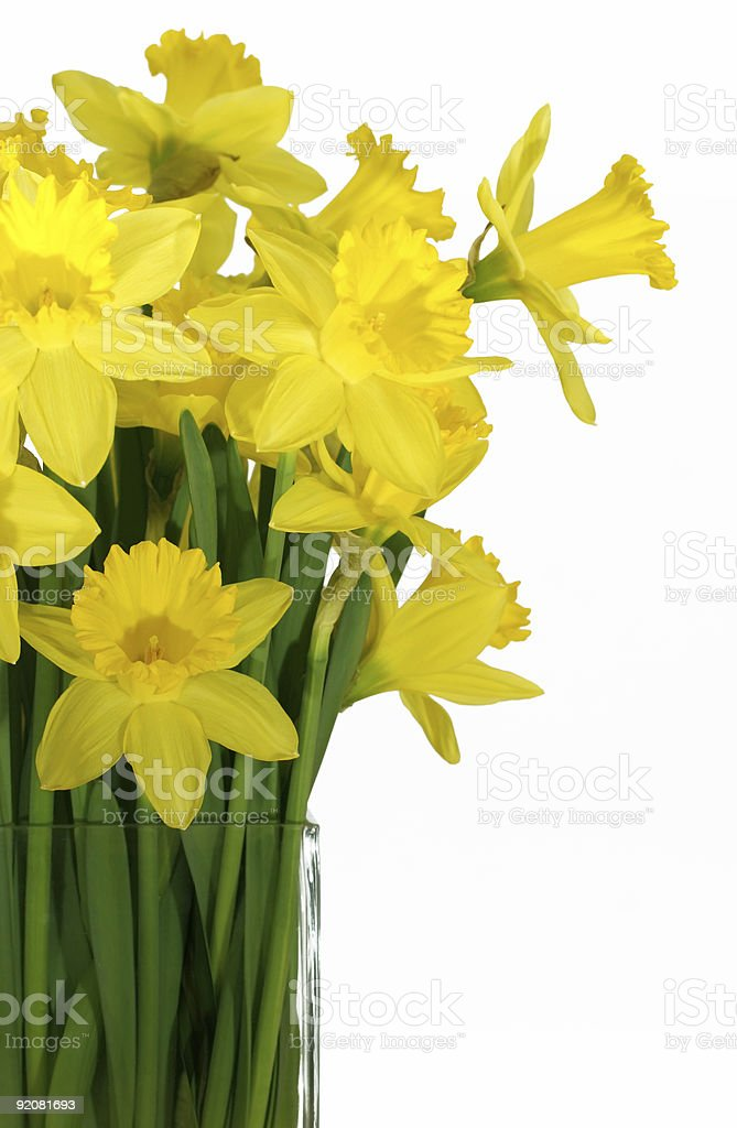 Daffodils in a square glass vase royalty-free stock photo