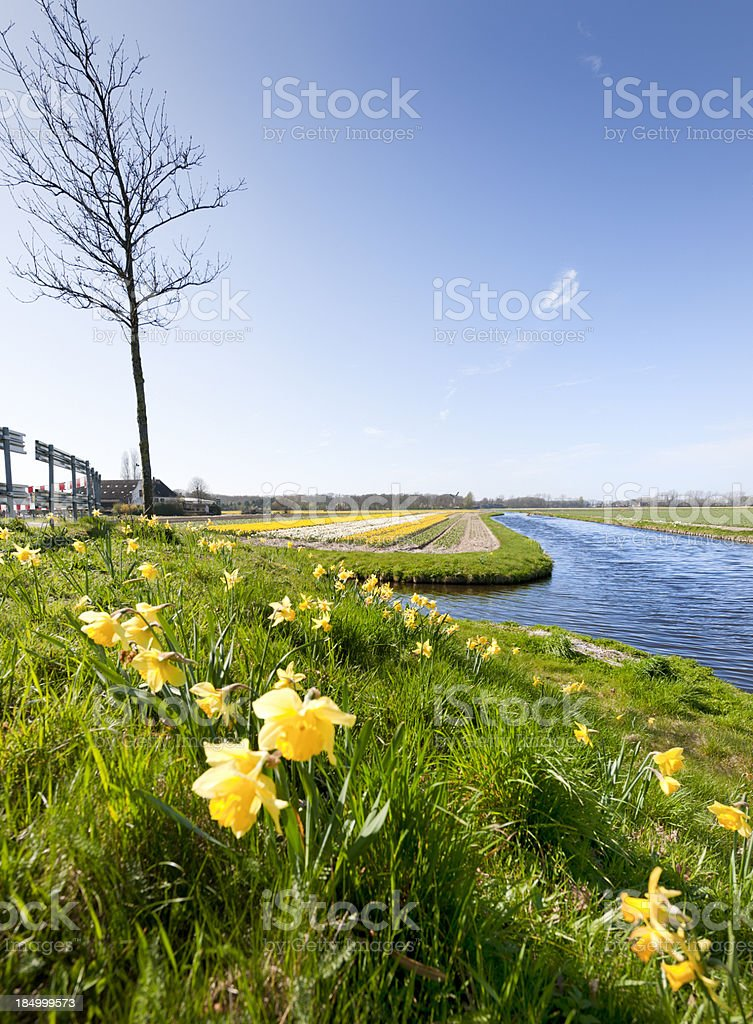 daffodils in flower field royalty-free stock photo