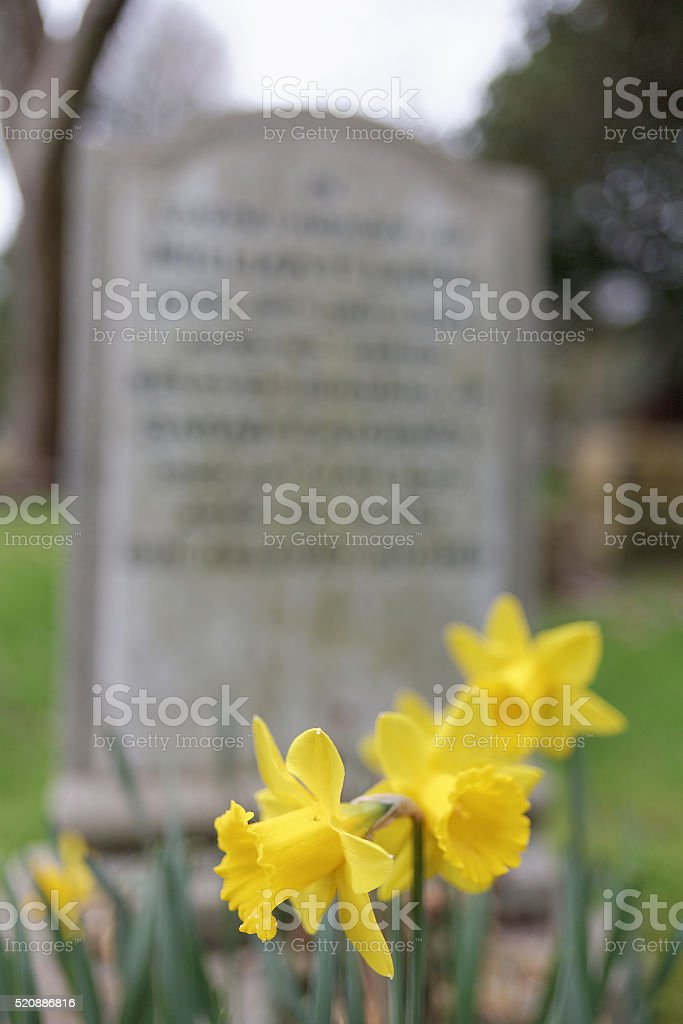 Daffodils in front of gravestone stock photo