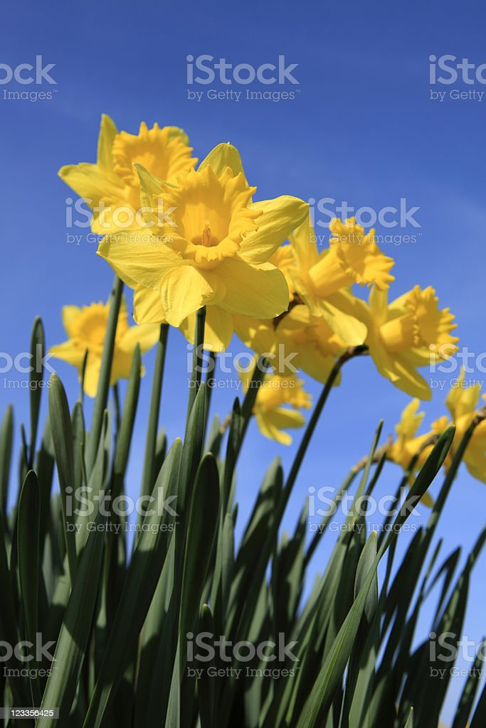 daffodils in full bloom against a clear blue sky stock photo