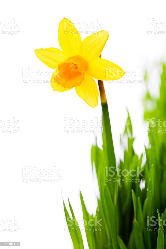 daffodils in green grass royalty-free stock photo
