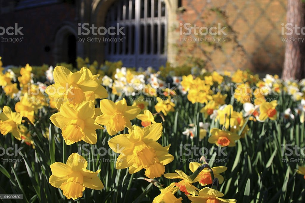 Daffodils in Kent, England stock photo