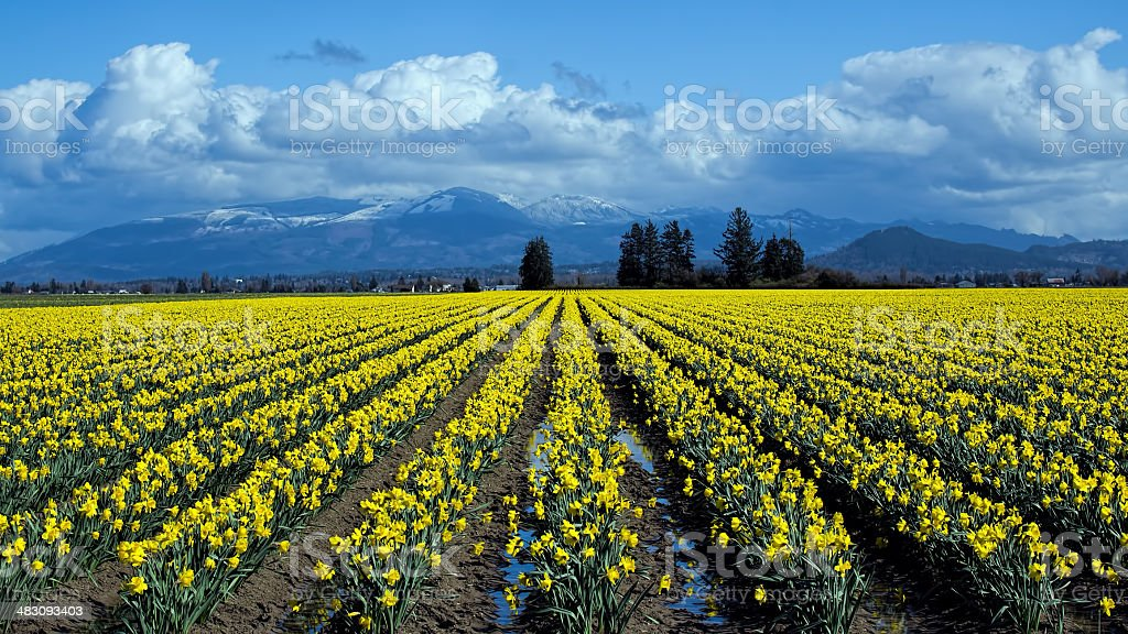 Daffodils in March stock photo