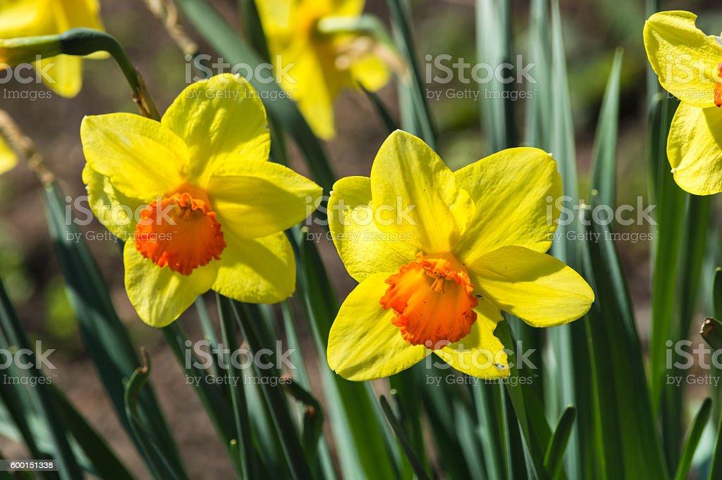 Daffodils in spring stock photo