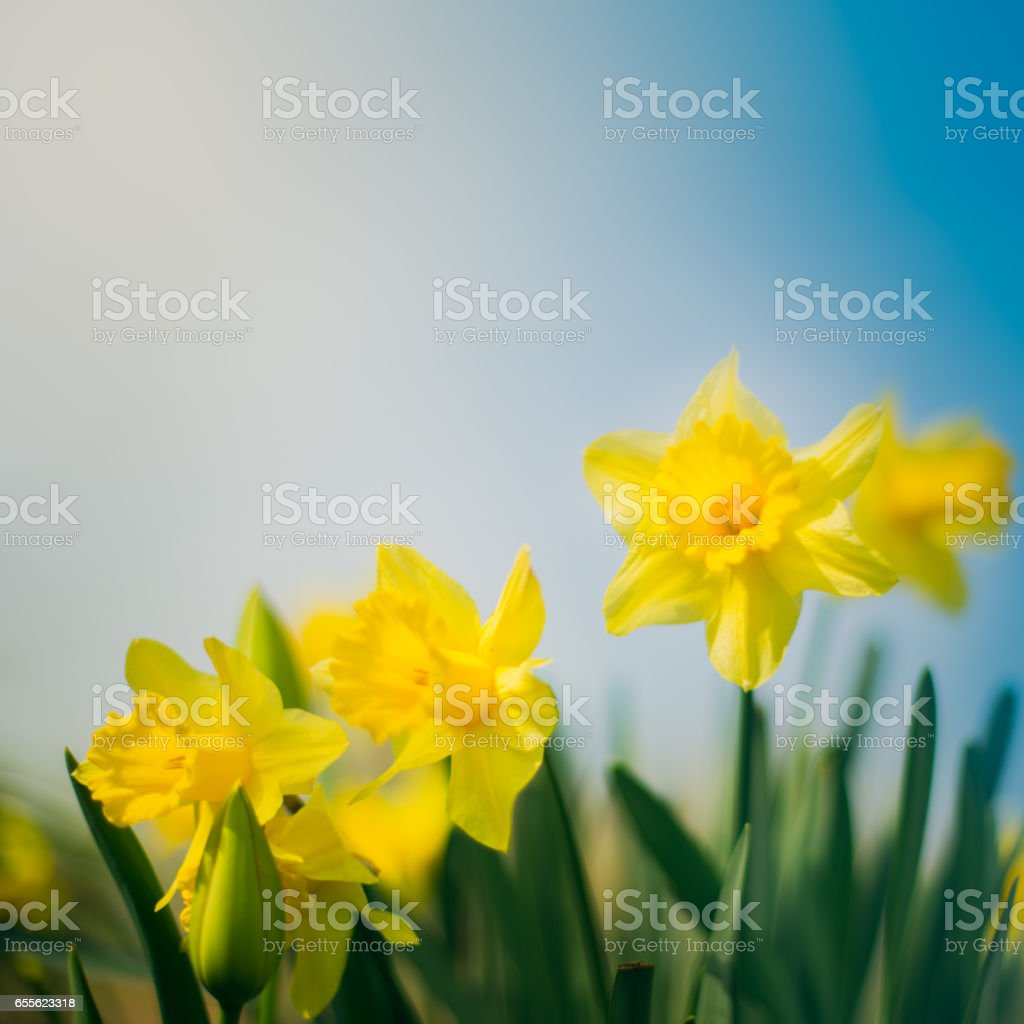 Daffodils in the garden stock photo