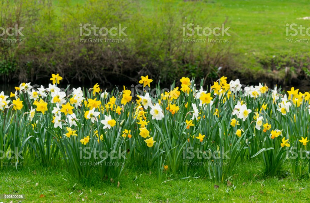Daffodils in the Park stock photo
