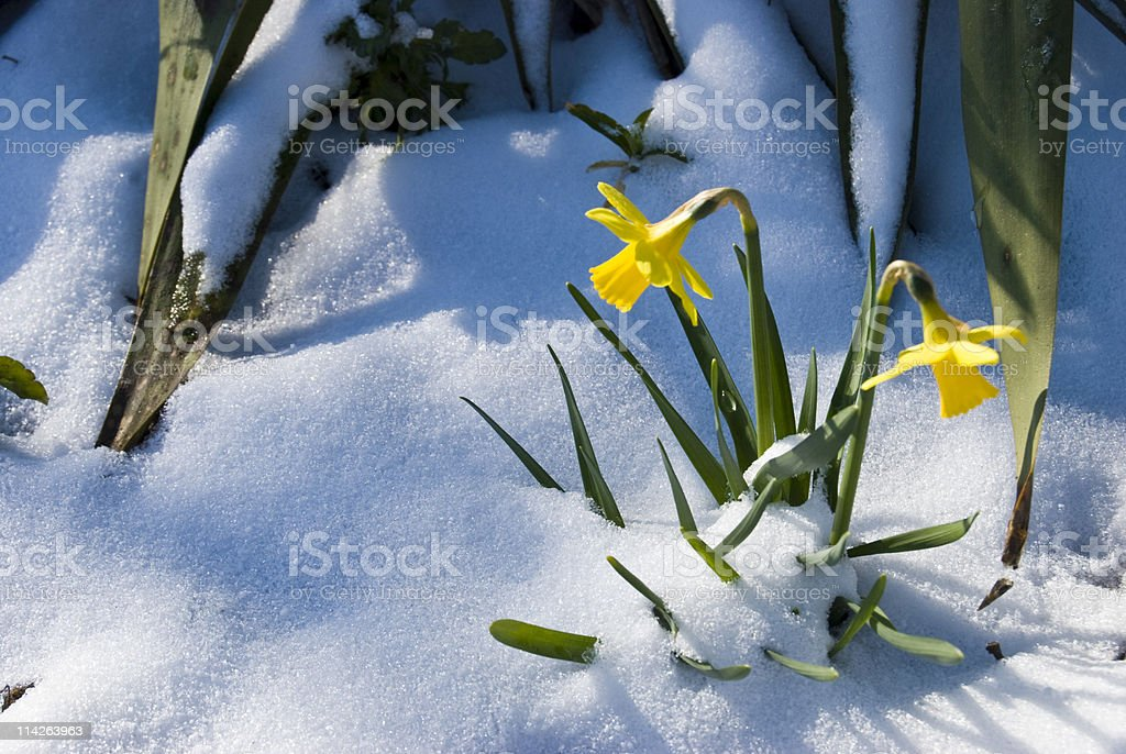 Daffodils in the snow royalty-free stock photo
