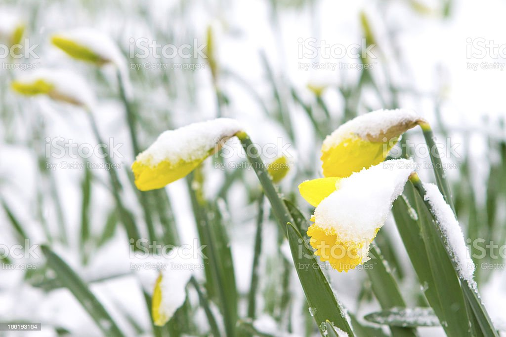 Daffodils in the spring snow stock photo