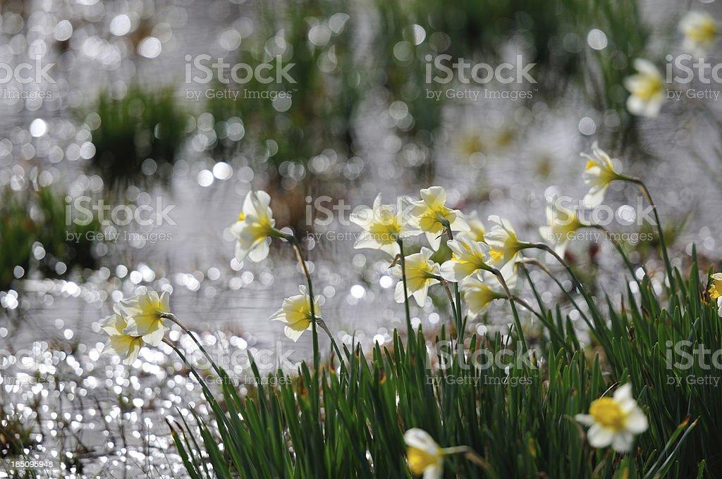 Daffodils near the Shore stock photo