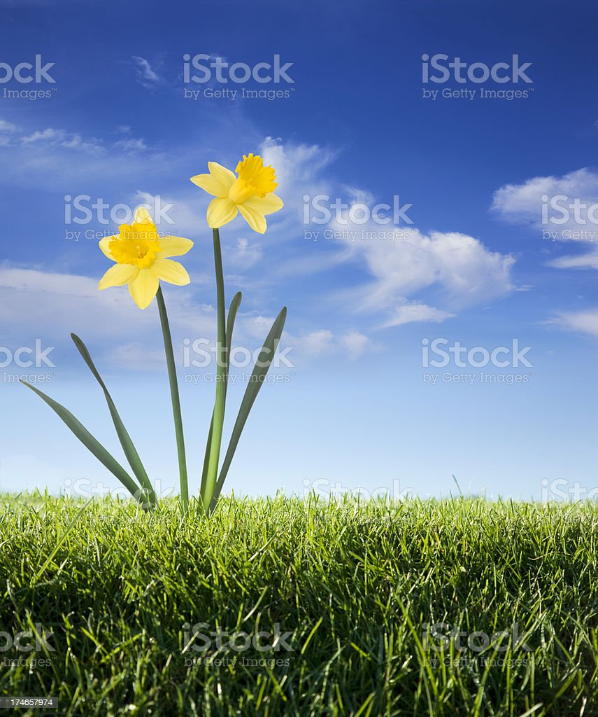 Daffodils on a Blue Sky royalty-free stock photo