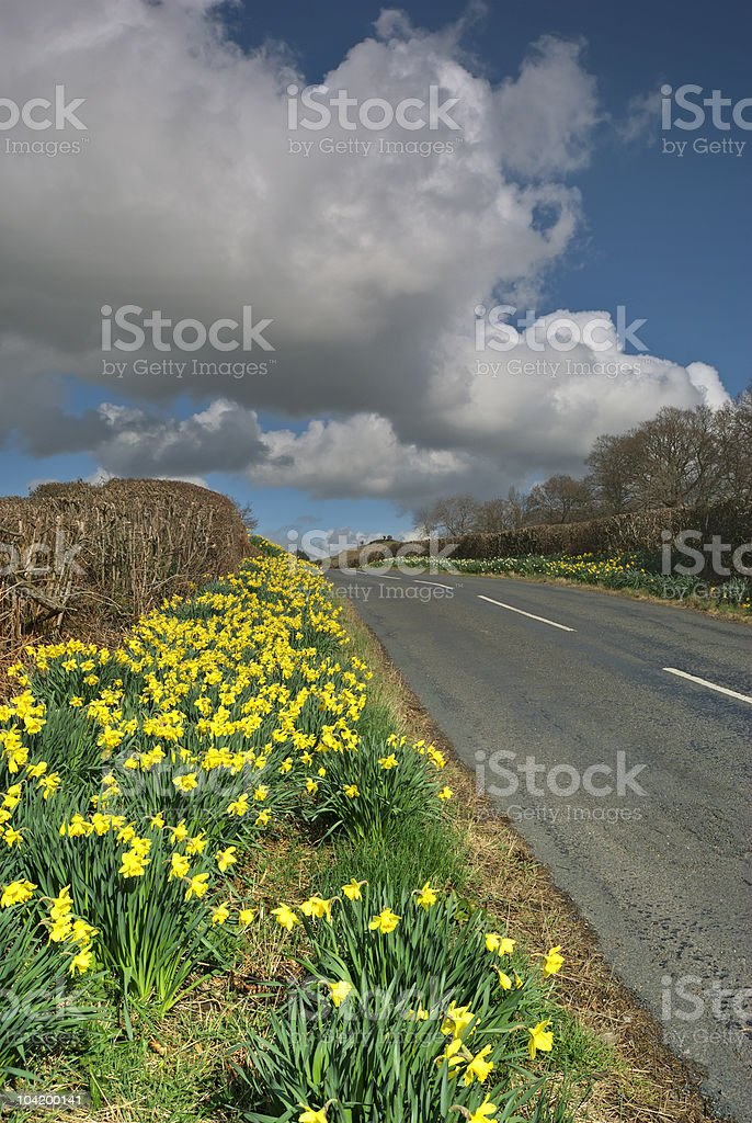 Daffodils on country road royalty-free stock photo