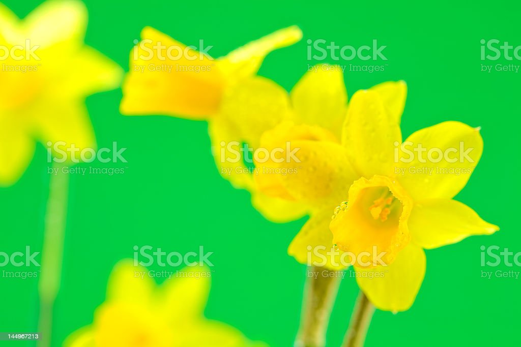 Daffodils on Green Background royalty-free stock photo