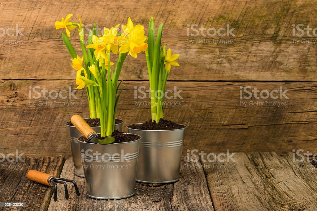 Daffodils on Rustic Background stock photo