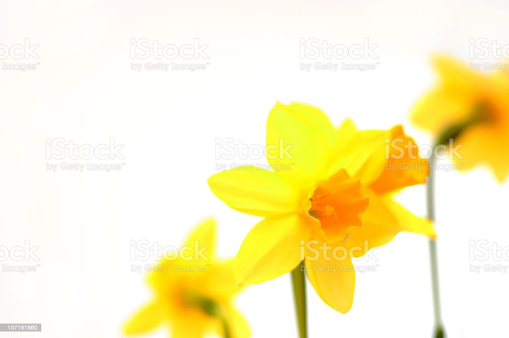 daffodils on white royalty-free stock photo