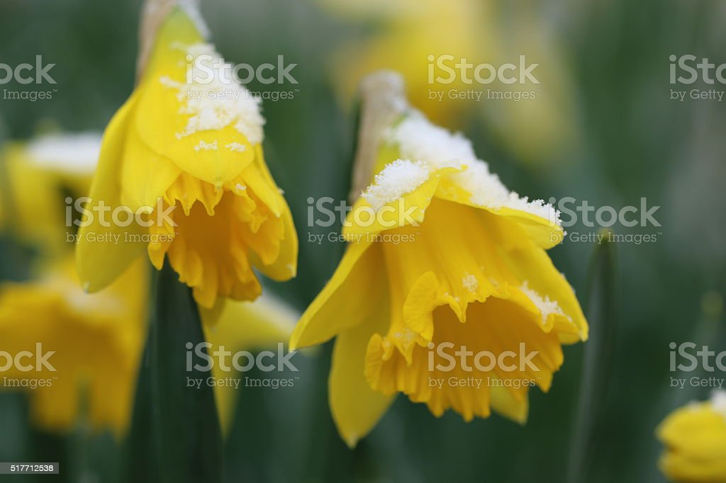 Daffodils partially covered by snow (close-up) stock photo